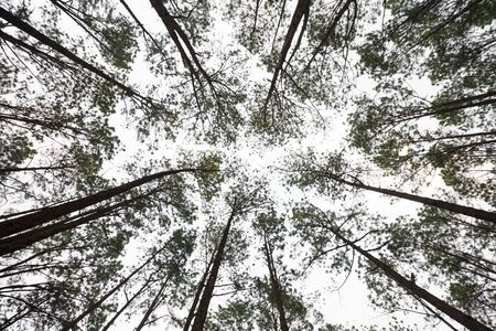 directly below: pine trees from below Stock Photo