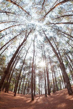 below: pine trees from below Stock Photo
