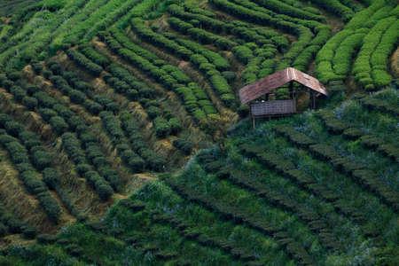 viewfinderchallenge3: Tea plantation and hut  in the Doi Ang Khang, Chiang Mai, Thailand