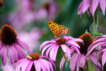 coneflowers: Monarch Butterfly on ConeFlowers