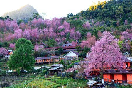 Sakura or cherry blossom at Doi Ang Khang Chiang Mai Thailand