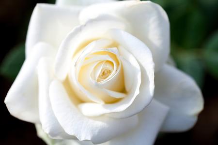 Close-up beautiful white rose Stock Photo