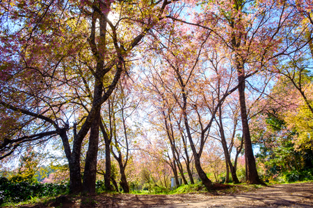 Cherry blossom in Khun Wang ChiangMai, Thailand. Stock Photo
