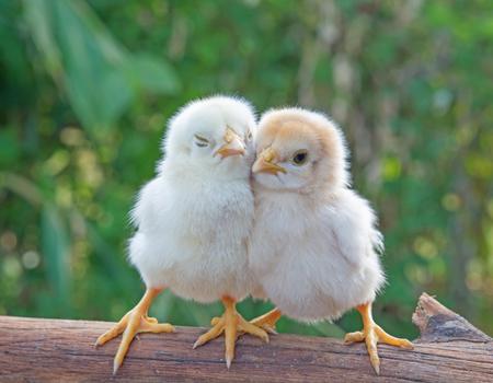 Chicks morning sun