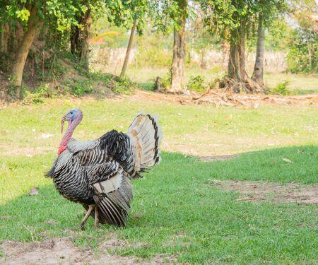 Turkey and beautiful colored tail With green nature in the morning Stock Photo