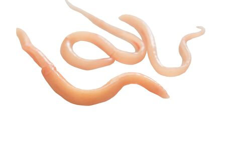 A parasite that grows in the intestines and is a food and energy source of other parasites. Imagens