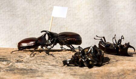 Rhinoceros beetle  fighting Stock Photo