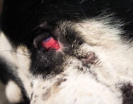 Conjunctivitis in dogs and signs of infection
