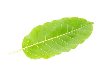 Green leaf on  white Reklamní fotografie