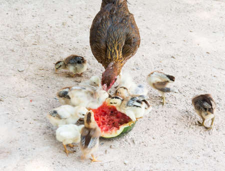 Hen and Chicks Watermelon eating a diet