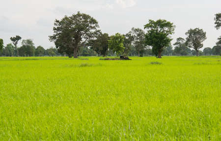 green Paddy fields in nature