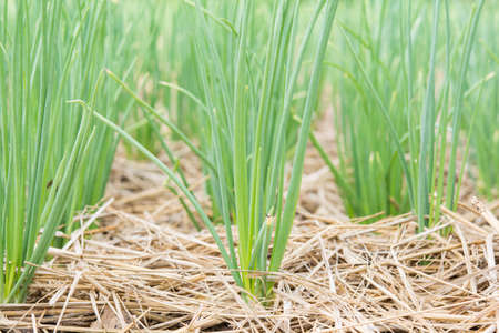 Onions in the grass