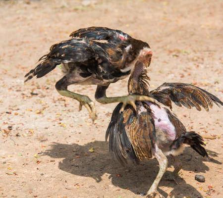 game cocks