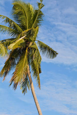 coconut tree and blue sky Standard-Bild