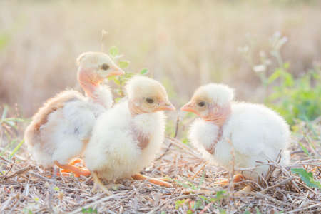 Chicks with warm sunshine in winter