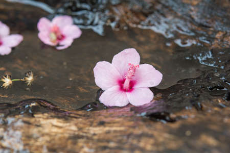 Pink flowers fall on the wood. and water