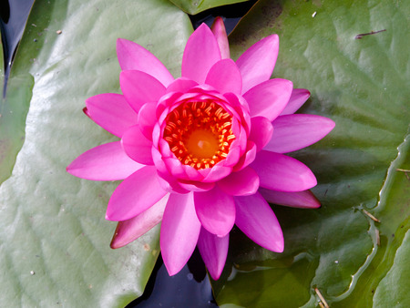 egyptian lily: Pink water lily