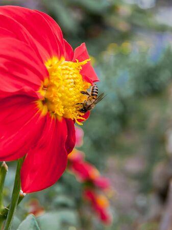 returning: Bee sucking nectar on red flower