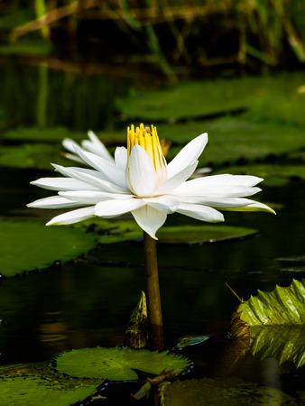 egyptian lily: White lotus