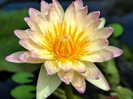 egyptian lily: Yellow lotus
