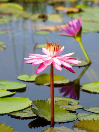 egyptian lily: Pink lotus Stock Photo