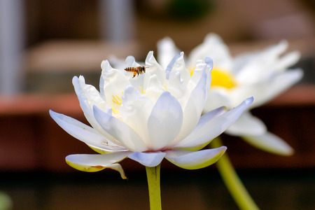 egyptian lily: White lotus and bee Stock Photo