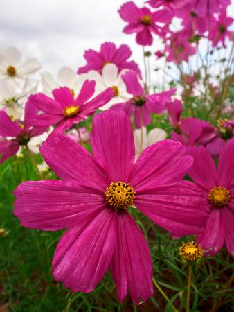 compositae: Close up cosmos flower Family Compositae in garden