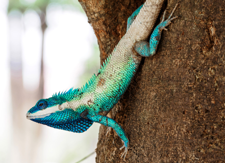 close up blue chameleon hold head on the tree