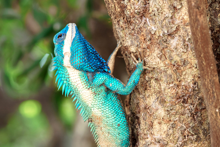 close up blue chameleon on the tree