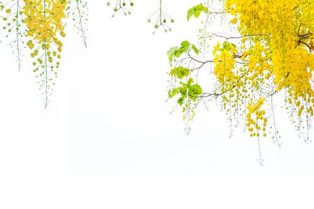 Golden shower flowers , Cassia fistulosa tree flowers