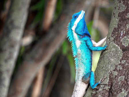 close up blue chameleon hang on the tree Stock Photo
