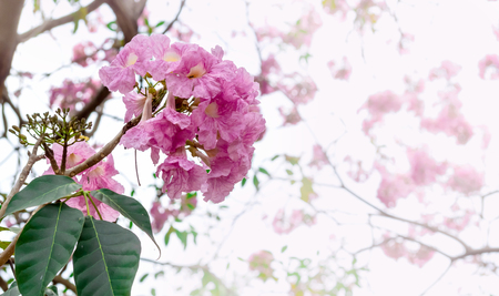Pink flower with blur background , Pink trumpet tree ,Tabebuia rosea Archivio Fotografico