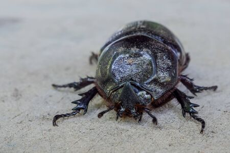 Close up of coconut rhinoceros beetle on wood
