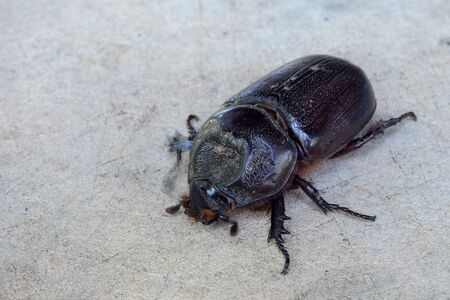 Close up of coconut rhinoceros beetle on wood