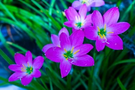Beautiful violet crocuses Stock Photo