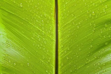 Birds nest fern leaf