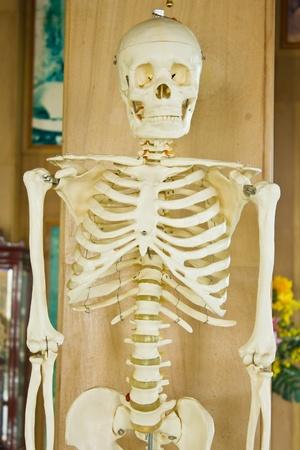 Human Skeleton Stock Photo - 9987042