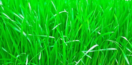 Green fresh young wheat close up  Stock Photo - 10130868