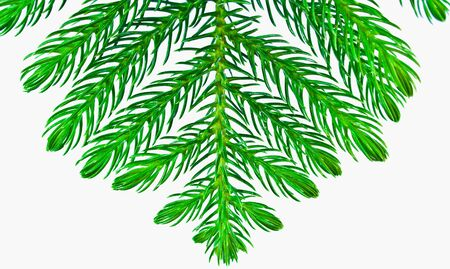 Pine branches isolated on white background  photo