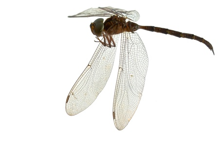 dragonfly isolate on white Stock Photo - 11018045