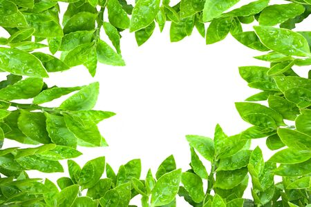 overwhite: Frame from green leafs isolated on white background with space for text.
