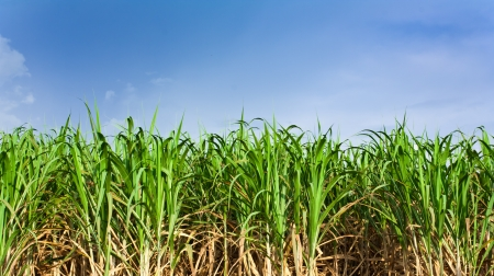 field of thai: Sugarcane field in blue sky and white cloud in Thailand Stock Photo