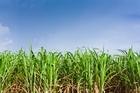Sugarcane field in blue sky and white cloud in Thailand Stock Photo - 12661676