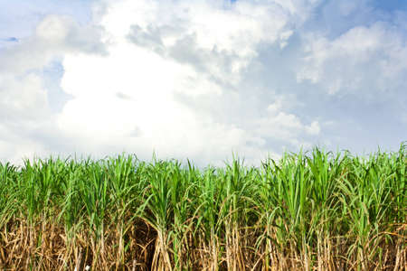 Sugarcane field in blue sky and white cloud in Thailand photo