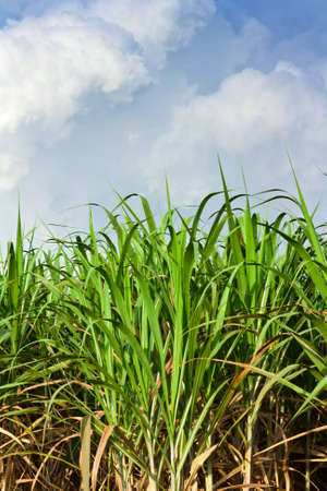 Sugarcane field in blue sky and white cloud in Thailand Stock Photo - 12661680
