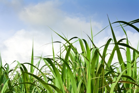 Sugarcane field in blue sky and white cloud in Thailand Stock Photo - 12661672