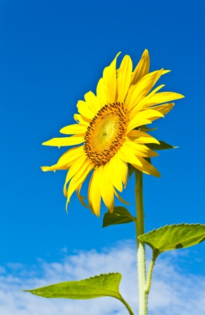 Close up of sun flower against a blue sky photo