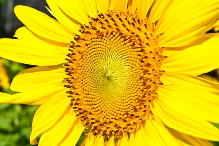 beautiful yellow Sunflower petals close up photo