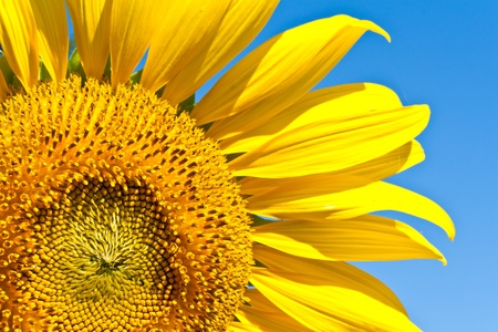 Close up of sun flower against a blue sky Stock Photo - 13105397