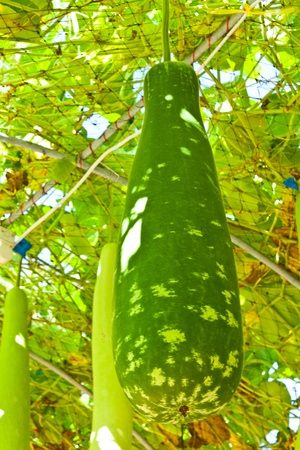 Wax gourd or Chalkumra or winter melon Stock Photo - 13105338
